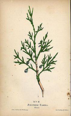 Juniper botanical