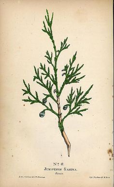 Juniper botanical