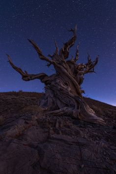 Stars and Ancient Bristlecone pine, White Mountains, Eastern Sierras, California