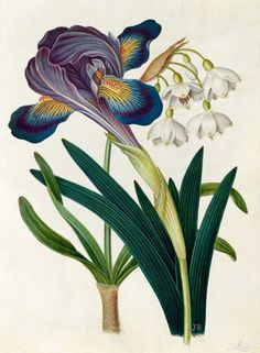 James Bolton -- 'Painted Iris and Summer Snowdrop' -- Iris -- View By Flower -- RHS Prints Illustration Botanique, Illustration Blume, Vintage Botanical Prints, Botanical Drawings, Botanical Flowers, Botanical Art, Art Floral, Sibylla Merian, Dame Nature