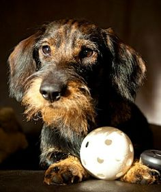 Sweet little wirehair. Dachshund Love, Daschund, Weenie Dogs, Doggies, Scottish Terrier, Animals And Pets, Cute Animals, Wire Haired Dachshund, Dog Rules