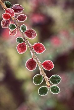 Amazing nature bokeh photography Red & green leaves (by ms holmes) No Rain, Colorful Roses, Foto Art, Winter Beauty, Winter Wonder, Belleza Natural, Winter Garden, Jack Frost, Natural World