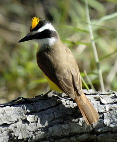 Great Kiskadee (Pitangus sulphuratus) Saw my first ever yesterday and he had this cute little crown.