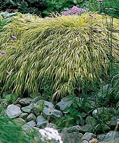 Hakonechloa  hakone grass - Best is shade/partial shade. Golden green, lime green or variegated. 12-15""