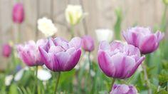 Lilac Loveliness