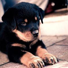 Descargar fondos de pantalla cachorro rottweiler, un pequeño perro, perrito negro, simpáticos animales, perros Rottweiler Love, Rottweiler Puppies, Rottweiler Pictures, Cute Puppies, Cute Dogs, Dogs And Puppies, Doggies, Chubby Puppies, Funny Dogs