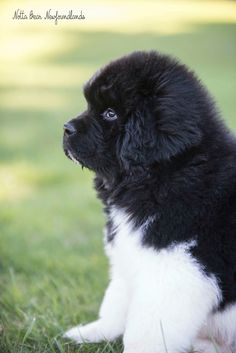 Notta bear Newfoundlands puppy - peek