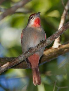 Rose-throated Tanager (a cardinal), Piranga roseogu-laris: endemic to the Yucatán Peninsula, jimhully--SmugMug