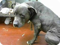 American Pit Bull Terrier Dog for adoption in Atlanta, Georgia - BLUE