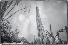 If all is well this picture is also published today in the Monochrome Madness Series of Melbourne based Leanne Cole It's the Agave Victoria Regineae which, after 10 years, makes a flower stalk in t...