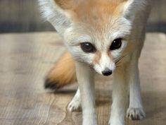 Fennec Fox by makitani on Flickr