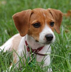 This is what breed my dog is: jack russell/beagle mix