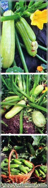 кабачки выращивание