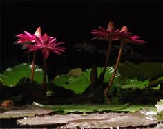 Nénuphars nocturnes à Latour-Marliac, Le Temple-sur-Lot, France. Night-blooming water lilies at Latour-Marliac, Le Temple-sur-Lot, France.