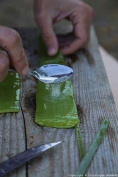Si vous souhaitez cultiver l 39 ashwagandha au jardin ou sur - Entretien de l aloe vera ...