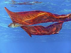 Blanket Octopus' name derives from the long transparent webs that connect the dorsal and dorsolateral arms of the adult females. The other arms are much shorter and lack webbing. Blanket octopuses are immune to the poisonous Portuguese man o' war, whose tentacles the male and immature females rip off and use for defensive purposes. The female unfurls her large net-like membranes that spread out and billow in the water, increasing her apparent size ... #Animal #Picture #Photo #CuteAnimals…