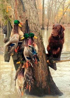 Arkansas Duck Fever {Delta Duck Wraps} – Taste of Arkansas Arkansas Duck Hunting, Dove Hunting, Hunting Dogs, Charcoal Lab Puppies, Hunting Wallpaper, Waterfowl Hunting, Retriever Dog, Mans Best Friend, Best Dogs
