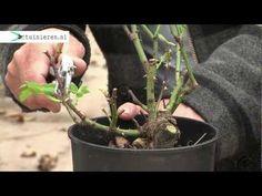 Struikrozen snoeien - Tuinieren.nl - YouTube