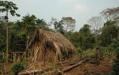 The 'Last of His Tribe's' house and garden where he grows manioc and other vegetables, Brazil.