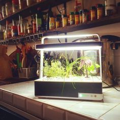 Another Basile found the perfect spot in the @laruchequiditoui kitchen in #paris ! #growyourown #healthy #laruchequiditoui #hydroponics #nogmo #organic #startup