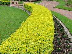Duranta Gold hedge (Duranta erecta / Duranta repens)