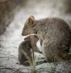 The happiest animals on earth! The Quokka. These ones were found on Rottnest Island, Perth, #Australia