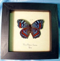 Precis octavia sesamus real The Gaudy Commodore african Butterfly in an Archival Conservation Display