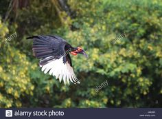 Download this stock image: Southern Ground Hornbill (Bucorvus Leadbeateri) - J4K20H from Alamy's library of millions of high resolution stock photos, illustrations and vectors.