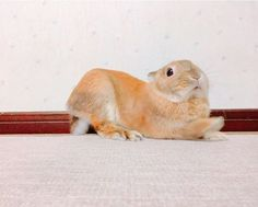 ほっ!💫 よく奇妙な体勢する子🌝💫 右手はどこへ向かってるの?? * * * * * * * #うさぎのいる暮らし #うさぎ部 #うさぎ #兎 #rabbit #bunny #rabbitstagram #netherlanddwarf #rabbitsworldwide #rabbitlover #bunnystagram #bunnylove #ウサギ #ネザーランドドワーフ #pet #usagi #instarabbit #dailyflufffeature #lapin #kurashiru_animal #ふわもこ部 #instabunny #petphotography #大好きほくちゃん #animallover #うさばか #ミニウサギ #うさぎちゃん #webstapets #動物 2017.2.1