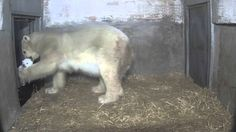Eisbär-Nachwuchs im Zoo Rostock - Update 13.02.2015