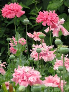 PINK POPPIES - Yahoo Image Search Results