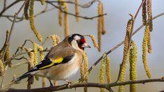 El jilguero es el pájaro cantor más atrapado por el silvestrismo.