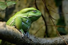 Bad ass frog