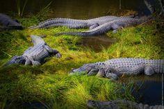 American Alligators at Alligator Adventure, North Myrtle Beach, South Carolina