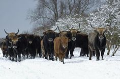 Een kudde runderen in de sneeuw. Dit is geen Oostenrijk, maar deze heckrunderen zijn puur Hollands Glorie