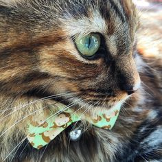 Whisker Wednesday close up with one of my fav bowtie…