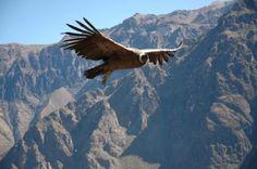Vuelo del cóndor en el Cañón del Colca, Arequipa-Perú