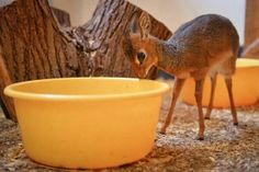 @Cute Emergency: This is a little dik dik, and I want one.