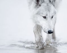 winter snow white wolf arctic 1920x1080 wallpaper
