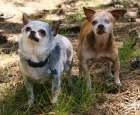 Harley & Teddy: 2 Puppy Mill Survivors Rescue 165 Dogs | The Dogington Post