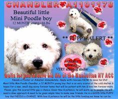 SUPER URGENT- *PUPPY** CHANDLER NEEDS HELP!!!  http://nycdogs.urgentpodr.org/chandler-a1101178/