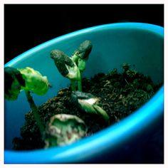 Les plants poussent.