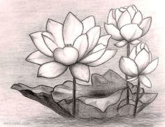 flower drawings lotus