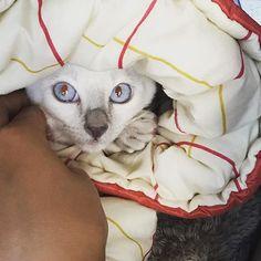 おはようございます 寝袋に食べられちゃった桃千代。 . . #猫 #ねこ #にゃんこ #にゃんすたぐらむ #ねこすたぐらむ #ねこ部 #にゃんだふるらいふ #猫のいる暮らし #猫のいる生活 #ふわもこ部 #猫好きさんと繋がりたい #トンキニーズ #白猫 #ペット #愛猫  #kawaii #cat  #white #pet #instacat #neko  #fluffy#NEKOくらぶ #みんねこ #ペコねこ部 #桃千代 #おはよう #goodmorning #朝
