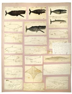 Drawings of whales, mixed media, from the Isaachar Cozzens Jr. Portfolio Collection, PR 145, NYHS Image #76906d.