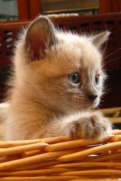 Kitten | Siamese foster kitten - they are adoreable but so temperamental.