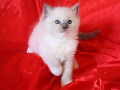 Cattery OlympoDolls from Spain. At november the 15th 2014 we were able to pay our very first visit to a TICA Ragdoll Congress and one of the kittens we fell in love with immediately (without knowing anything about the breeder or the potentials of this little beauty) became best of show, and this is a pin of the breeders website.