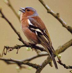 The common chaffinch (Fringilla coelebs), usually known simply as the chaffinch, is a common and widespread small passerine bird in the finch family. The male is brightly coloured with a blue-grey cap and rust-red underparts. The female is much duller in colouring but both sexes have two contrasting white wings-bars and white sides to the tail. The male bird has a strong voice and sings from exposed perches to attract a mate.