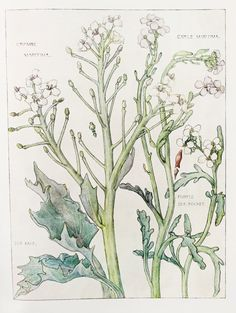 1910 Botanical Print by H. Isabel Adams Cabbage by PaperPopinjay, $15.00