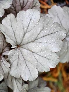 "Heuchera Stainless Steel.  Zone 4 perennial, 10"" plant, half sun to full shade-- more shade = more silver color.  Flowers white."